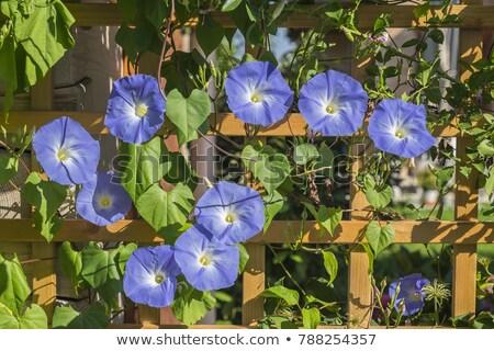Driekleur bloementuin zomer natuur blad tuin Stockfoto © LianeM