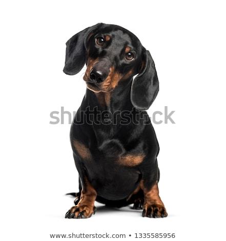 Stock photo: Dachshund sitting in a white studio