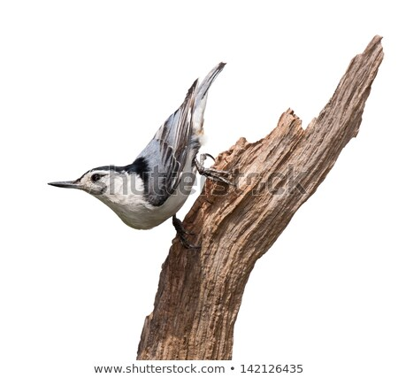 Whitebreasted Nuthatch Perched Stock photo © brm1949