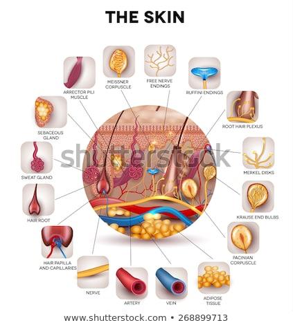 bőr · anatómia · részletes · struktúra · absztrakt · kék - stock fotó © tefi