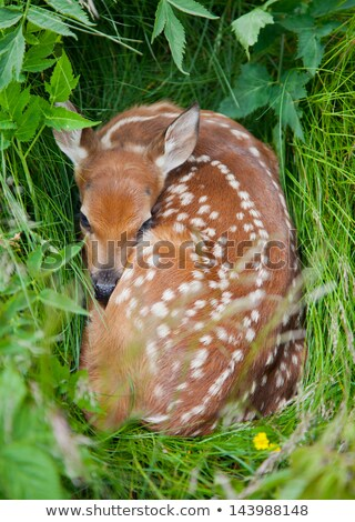 White tailed Deer fawn hiding in grass Stock photo © pictureguy