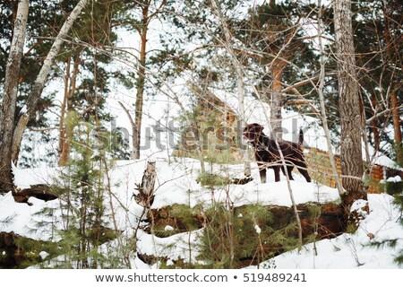 Brown labrador dog among winter pine trees  Stock photo © dariazu
