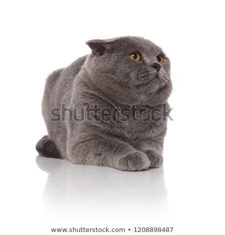 furry scotish fold lies and looks up to side Stock photo © feedough