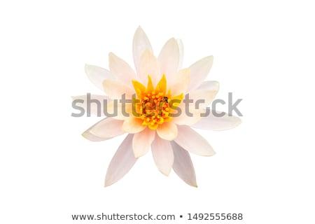 white waterlily stock photo © koratmember