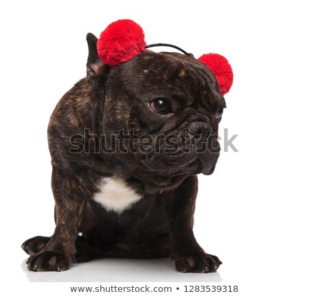curious french bulldog wearing red earmuffs looks to side Stock photo © feedough