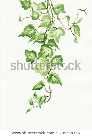 Jonge klimop tak groeiend geïsoleerd witte Stockfoto © smithore