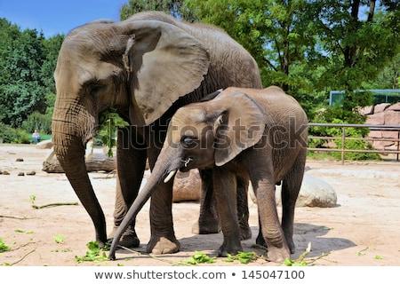 Stock fotó: Elefánt · állatkert · út · tájkép · sétál · fogak