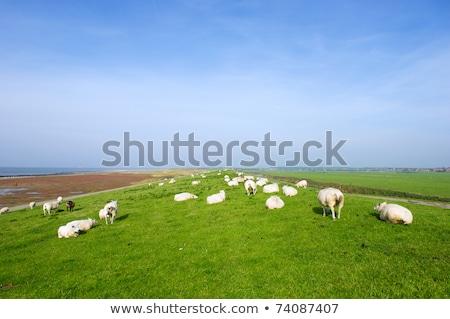 Dike with sheep at Dutch Ameland Stock photo © ivonnewierink