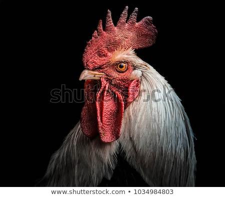 Horoz portre kafa tavuk Stok fotoğraf © MKucova