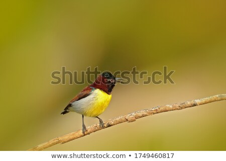 Beautiful Sunbird with head out of nest Stock photo © davemontreuil