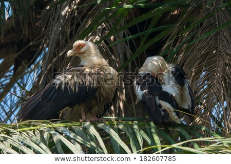 Palm-Nut Vulture preening in a Palm Tree Stock photo © davemontreuil