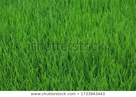green paddy stock photo © bdspn
