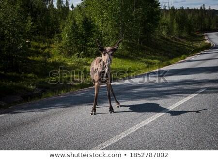 Caribou walking on street Stock photo © RuslanOmega