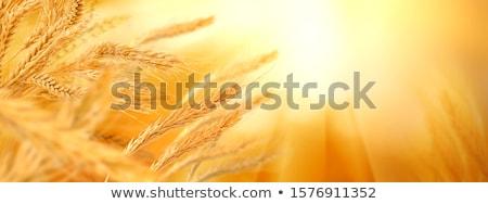spikelets of wheat in a field   Stock photo © meinzahn