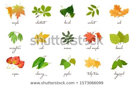 farklı · yaprakları · örnek · yaprak · arka · plan · sanat - stok fotoğraf © bluering