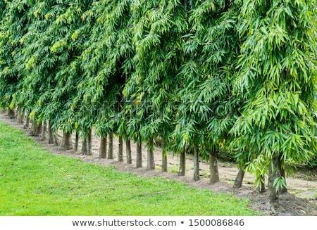 An ashoka tree Stock photo © bluering