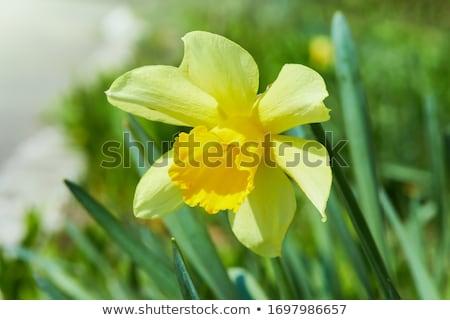 beautiful yellow blooming daffodil Stock photo © meinzahn