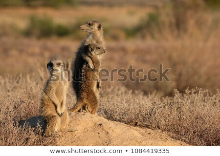 meerkats in love stock photo © adrenalina