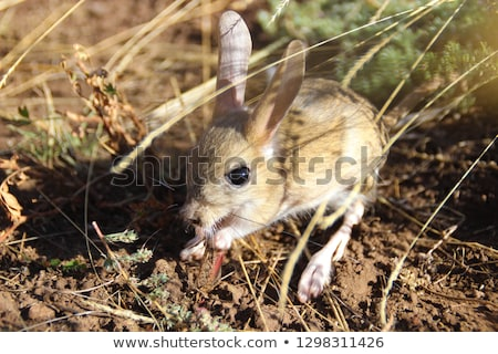 Jerboa isolated. Steppe animal on white background Stock photo © popaukropa