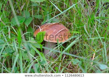 white mushroom growing in grass Stock photo © romvo