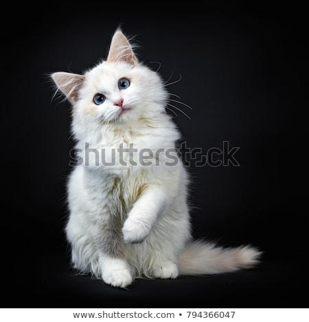 mavi · kedi · kedi · yavrusu · yalıtılmış · siyah · beyaz - stok fotoğraf © catchyimages