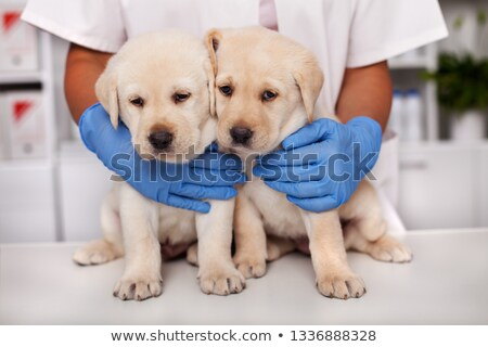 two cute but frightened labrador puppy dogs at the veterinary do stock photo © ilona75