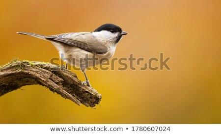 Fűzfa cici madár Stock fotó © chris2766