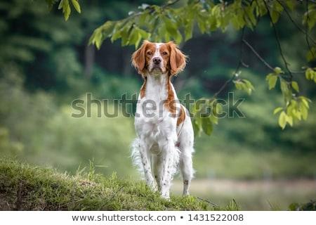 brittany spaniel Stock photo © cynoclub