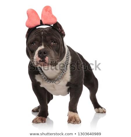 funny american bully wearing ribbon headband looks to side Stock photo © feedough
