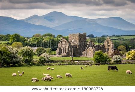 Landscape with sheep, Ireland Stock photo © borisb17