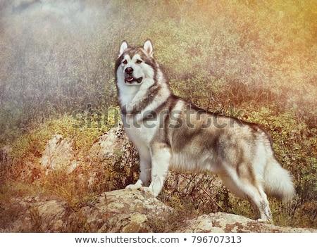 Alasca retrato temporada de inverno cão natureza Foto stock © olira