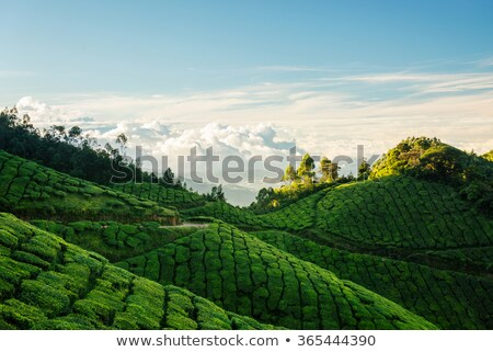 Tea Estate Stock photo © pazham