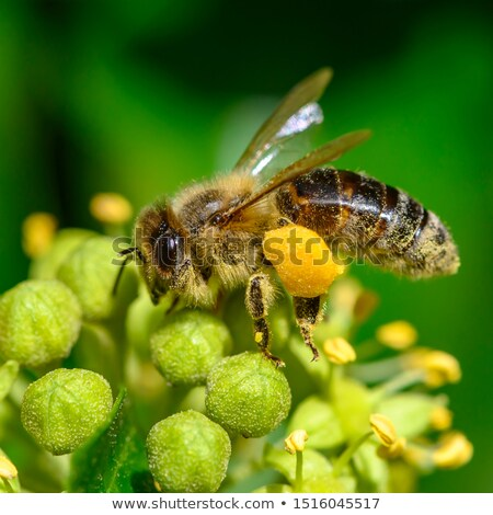 honeybee covered in pollen stock photo © frankljr