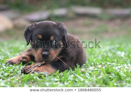biting rottweiler Stock photo © cynoclub
