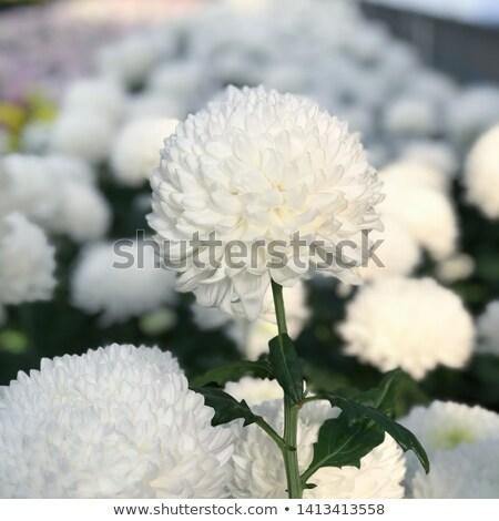 Stok fotoğraf: Beyaz · krizantem · siyah · çiçekler · doğa · arka · plan