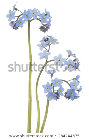 Three colours forget me nots background Stock photo © Julietphotography