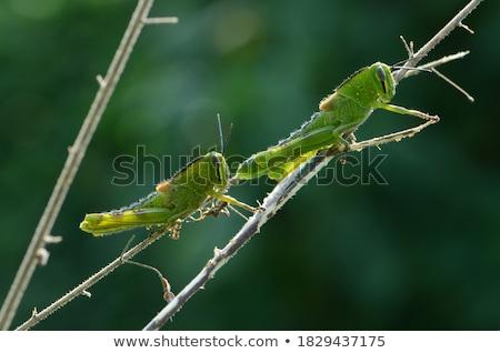 グラスホッパー 緑色の葉 庭園 昆虫 マクロ ストックフォト © luiscar