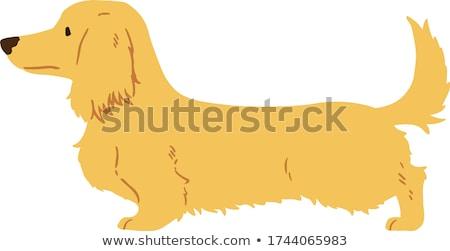 Hosszú hajú tacskó kutyakölyök fekszik izolált fehér Stock fotó © willeecole