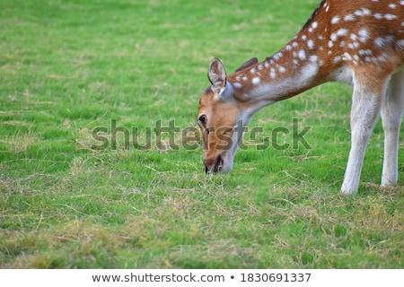 young fallow deer head close up stock photo © bobkeenan