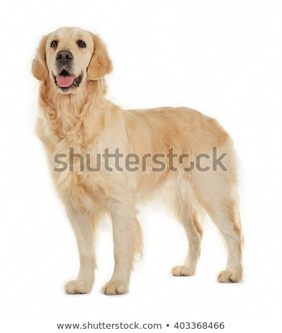 labrador retriever on white background Stock photo © laindiapiaroa