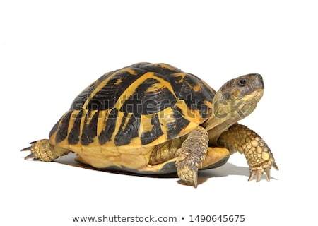 Teknősbéka kicsi kéz fotó fehér stúdió Stock fotó © colematt