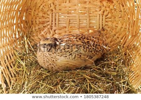 japonês · branco · pássaro · dourado · ovos · frango - foto stock © Goruppa
