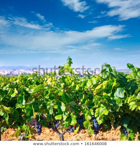 Valencia bor régió Spanyolország szőlőskert kilátás Stock fotó © lunamarina