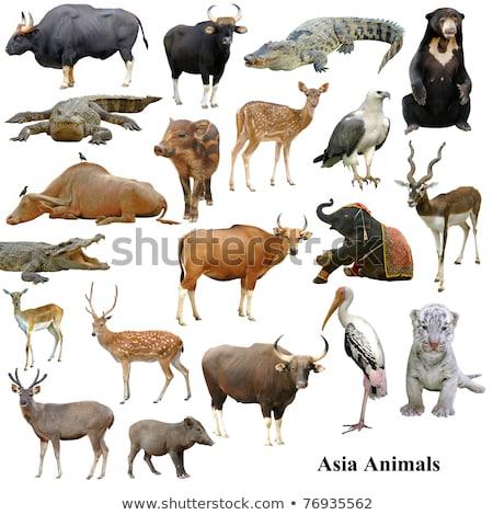 コレクション 孤立した 白 牛 動物 牛 ストックフォト © anan