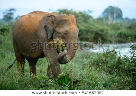 elefánt · etetés · vad · bokor · víz · utazás - stock fotó © michaklootwijk