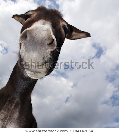 close portrait of a donkey Stock photo © OleksandrO