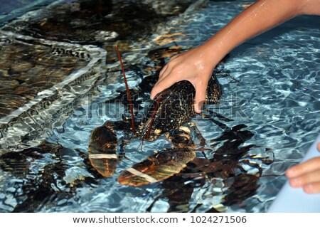 camarão · aquário · mar · vermelho · rio - foto stock © antonio-s