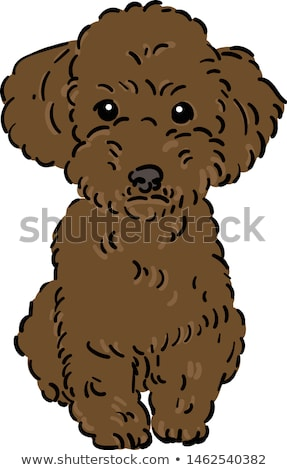 Marrom brinquedo poodle clássico nu retrato Foto stock © eriklam