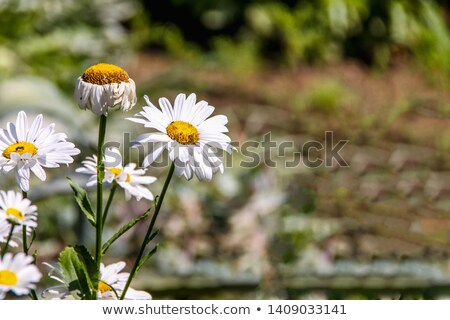bahar · papatyalar · alan · güneş · arı - stok fotoğraf © mroz