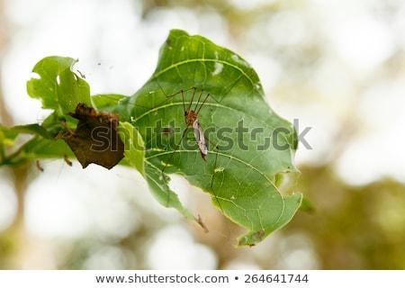 ビッグ サイズ 蚊 葉 森林 ストックフォト © ziprashantzi